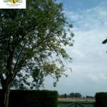 Teileinkürzung an einem Nussbaum.
